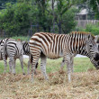 Zebra, — Stock Photo #18326843