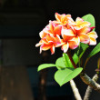 Stock Photo: Frangipani,.
