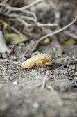 Cicada molting. — Stock Photo