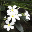 White frangipani. — Stock Photo #27308897