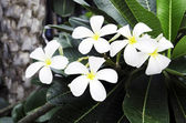 White frangipani. — Stock Photo