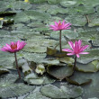 Pink lotus. — Stock Photo #28133625