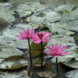 Pink lotus. — Stock Photo #28134087