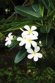 Plumeria White — Stock Photo
