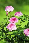 Roses in the Garden — Stock Photo