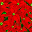 Poinsettia Flowers Pattern Background for Christmas.  — Stock Photo