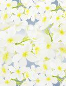 Mavi zemin üzerine beyaz güzellik plumeria frangipanis — Stok fotoğraf