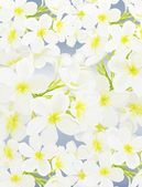 White Beauty Plumeria frangipanis on Blue Background — Stock Photo