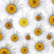 Fresh Chamomile Flowers in Full Blossom Background — Stock Photo