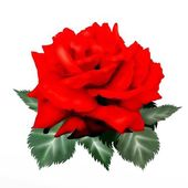 Hand Drawing of Red Rose Isolated on White Background — Stock Photo