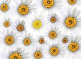 Fresh Chamomile Flowers in Full Blossom Background — Stock Photo