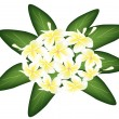 A Group of White Beauty Plumeria Frangipanis — Stock Vector
