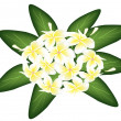 Stock Vector: A Group of White Beauty Plumeria Frangipanis