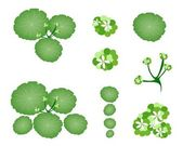A Set of Asiatic Pennywort on White Background — Stock Vector