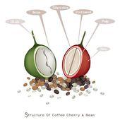Структура Зрелые и незрелые ягоды кофе — Cтоковый вектор