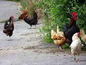 Huhn auf der straße — Stockfoto