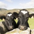 Stock Photo: Funny Cows portrait
