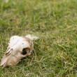 Sheep skull — Foto de Stock