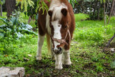 Pony grazing in the forest — Stok fotoğraf