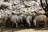 A herd of grazing sheep — Stock Photo