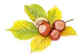 Autumn's chestnuts — Stock Photo