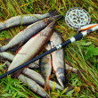 Sports fishing with spinning on reservoirs of Altai — Stock Photo #18540395