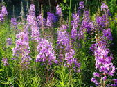 Blooming Sally — Stock Photo