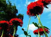 Saponaria — Zdjęcie stockowe