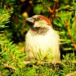 Sparrow on a Christmas tree — Stock Photo