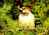 Sparrow on a Christmas tree — Stock Photo