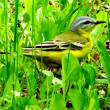 Stock Photo: Yellow wagtail
