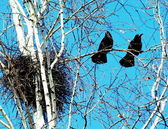 Rooks on a birch — Stock Photo