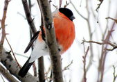 Bullfinch in a garden — Stock Photo