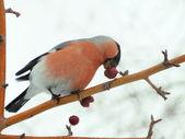 Bouvreuil sur un arbre — Photo