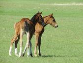 草原馬 — ストック写真