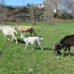 ������, ������: Goats house