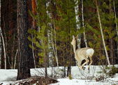 Siberian roe deers — Stock Photo