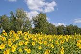 ZHeltye sunflowers — Stock Photo