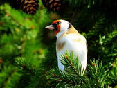 Goldfinch on tree — Stock Photo