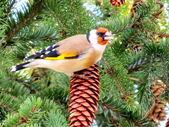 Stehlík na stromě — Stock fotografie