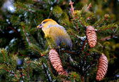 Crossbills on ated — Stock Photo