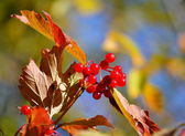 Autumn berries — Stock Photo