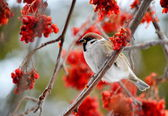 Gray sparrow — Stockfoto