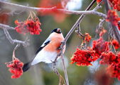 Have Ed bullfinch — Stock Photo