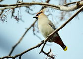 Waxwings on feeding — Foto de Stock