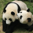 Giant panda bears (Ailuropoda Melanoleuca) playing together , China — Stock Photo
