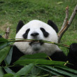 Portrait of giant panda bear (Ailuropoda Melanoleuca) eating bamboo, China — Stock Photo