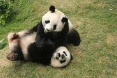Giant panda bears (Ailuropoda Melanoleuca) playing together , China — Stock Photo
