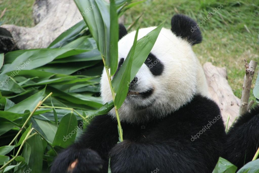 Retrato De Urso Panda Gigante (ailuropoda Melanoleuca