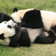 Giant panda bears (Ailuropoda Melanoleuca) rolling together, China — Stock Photo